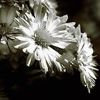 Black &amp; White Dasies by woodnimages