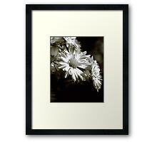 Black & White Dasies Framed Print