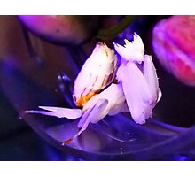 Bell the Orchid Mantis under her Night Light! Photographic Print