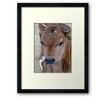 Baby Moo Framed Print