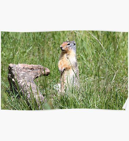 Watcha Doin? (Columbian Ground Squirrel) Poster