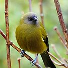 Bellbird - Southland NZ by AndreaEL