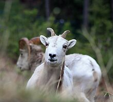 Playful Ram by Alyce Taylor