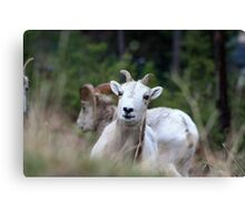 Playful Ram Canvas Print