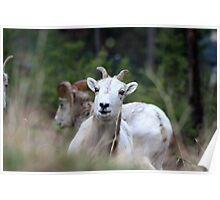 Playful Ram Poster