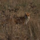 Redfox in Chester county by Tom Clark