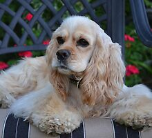 Cocker Spaniel by Halobrianna
