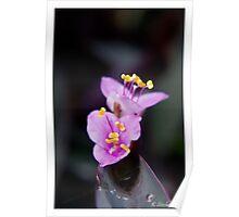 Open purple twins Poster