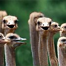 I SAY NO 6! - AT THE OSTRICH RACE - Struthio camelus by Magriet Meintjes
