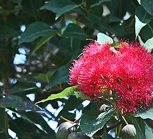 Red flowering gum by Maggie Hegarty