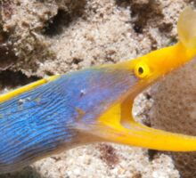 Blue Ribbon Eel, North Sulawesi, Indonesia Sticker