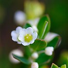Tiny white flowers by SandycPhotos