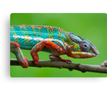 Chameleon beauty Canvas Print