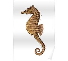 Northern Seahorse (Hippocampus hudsonius)  Poster