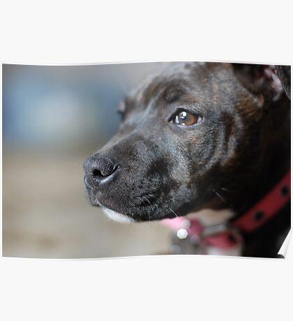 English Staffy Pup Poster