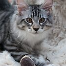 Maine Coon Kitten by elainejhillson