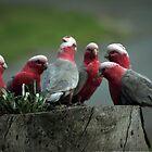 Gossiping Galahs by yolanda