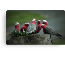 Gossiping Galahs Canvas Print