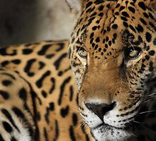 Jaguar by Mdillon