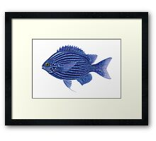 Deep Blue Chromis Framed Print