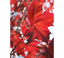 The Evening Sun Dances With The Red Maple Photographic Print