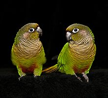 Conure Couple by Tracy Riddell