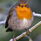 Robin by David Pringle