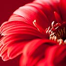 Gerbera 1 (IPhone Case) by Jacinthe Brault