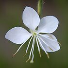 Gaura lindheimeri - Whirling Butterflies - Wand flower. by Qnita