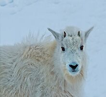 Whiteout, Kid mountain goat, nature, wildlife photo. by Donna Ridgway