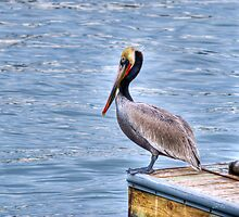Brown Pelican by Diego Re