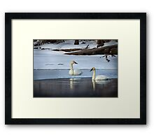 Swans in January thaw Framed Print