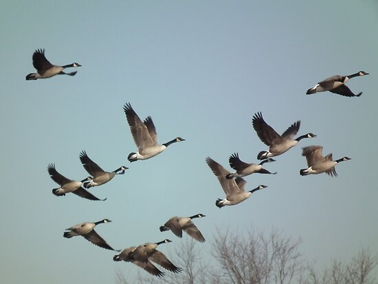 Geese In Flight at Sweet Marsh (2) by Deb Fedeler