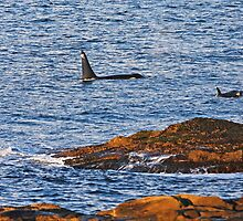 Orcas near shore at Georgina Point by TerrillWelch