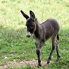 Donkey Colt by Annlynn Ward