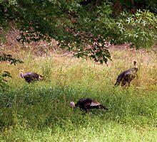 Wild Turkeys by Annlynn Ward