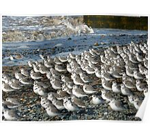 Sanderlings at Rossal Point  Poster
