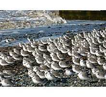 Sanderlings at Rossal Point  Photographic Print