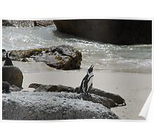 The African Penguin Poster
