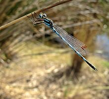 Blue Ringtail by macinverts