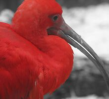 red Ibis by MaaikeDesign