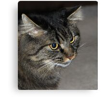 Maine Coon Canvas Print