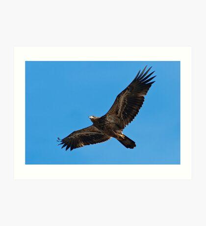 Immature Bald Eagle Flying Art Print
