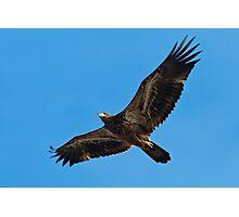 Immature Bald Eagle Flying Photographic Print