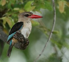 Brown-hooded Kingfisher by naturalnomad