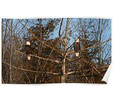 Eagles at Lake Wilhelm Nest Building In January Poster