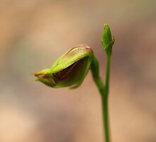 Flying Duck Orchid just opening by Bev Pascoe