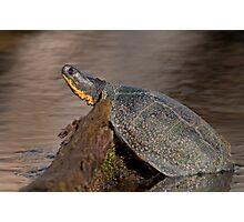 Blanding's turtle Photographic Print