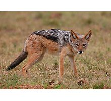 Caught In The Act / Black-Backed Jackal Photographic Print