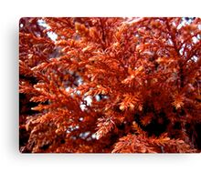 Red spruce Canvas Print